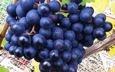 Dolcetto/Photo by italianwines.com