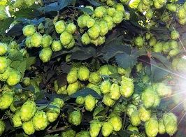 Yakima Valley Hops