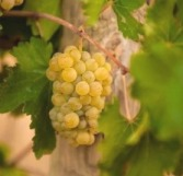 Chenin Blanc grapes/Photo by michaelolivier.co.za