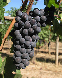 Pinot: That darkness on the vine does not show up in the glass