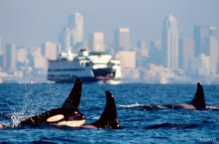 Orcas buzz Seattle/Photo by Chris Huss
